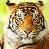 Tigerlore's avatar